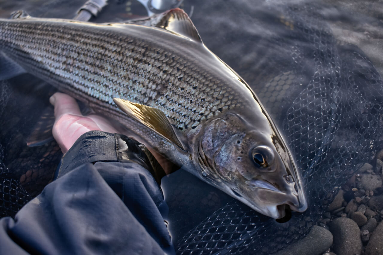 fly fishing for scottish grayling on river