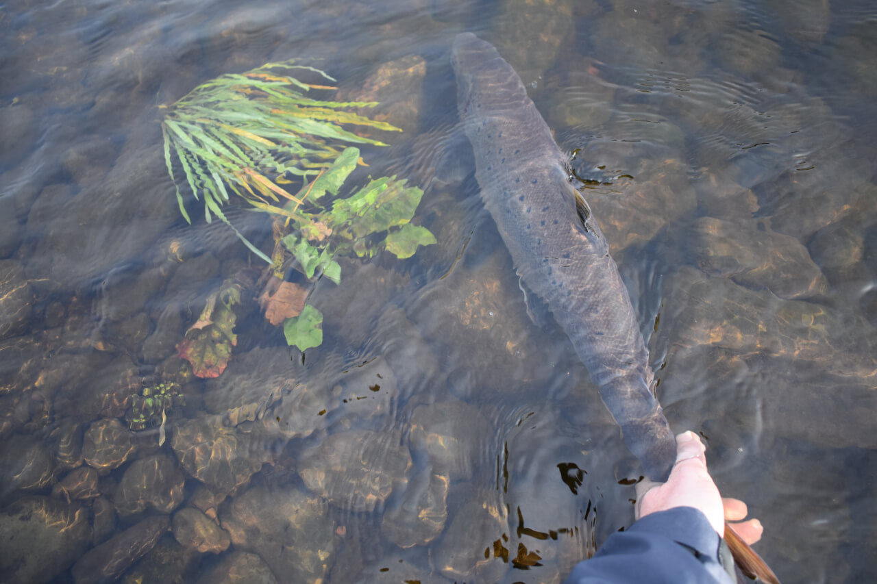 returning Salmon to river during guided fly fishing trip
