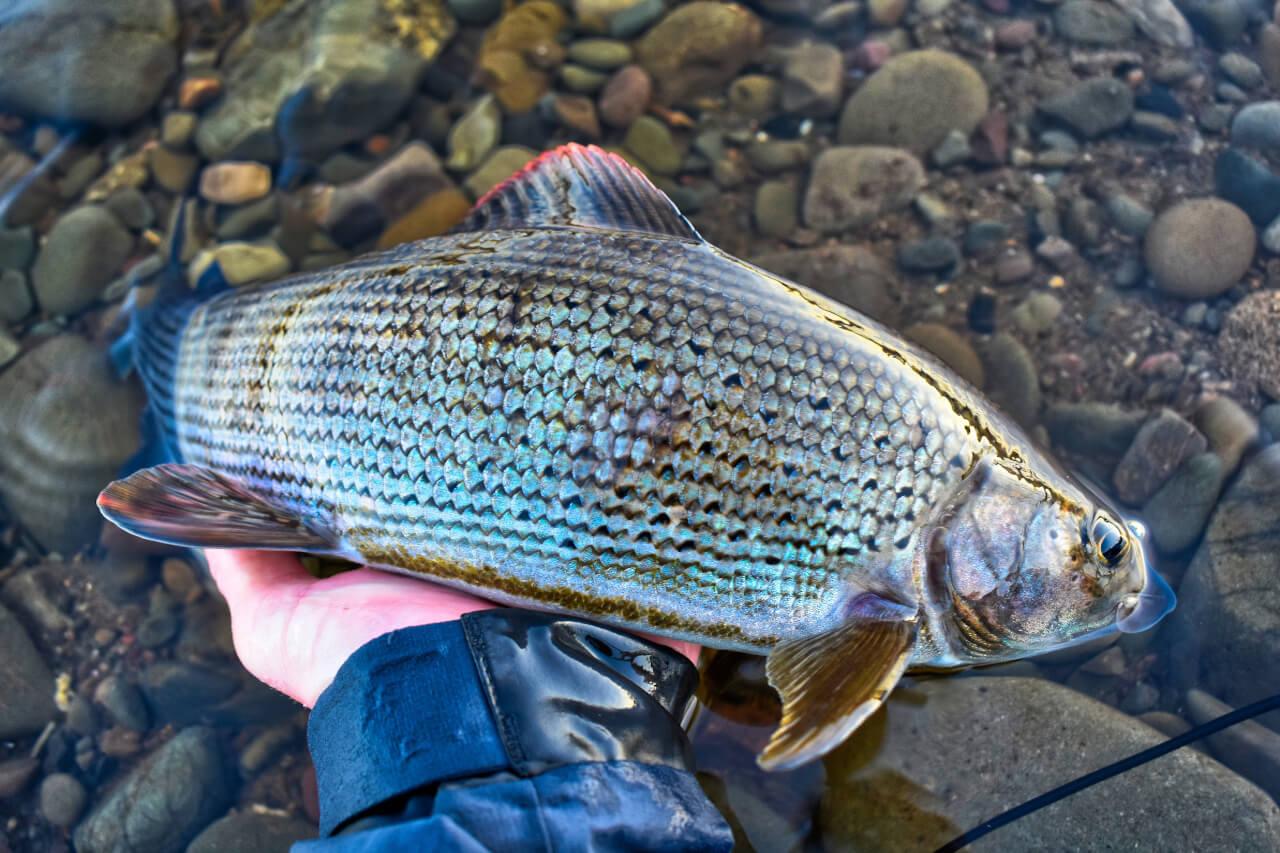 Guided Grayling Fishing holiday Scotland